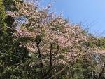 八幡宮 桜.jpg